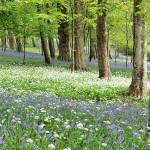 Bluebells and Wild Garlic - Antony Woodland Garden