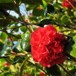 Camellia Japonica Kramers Supeme - Antony Woodland Garden