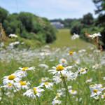Daisies at Antony Woodland Garden
