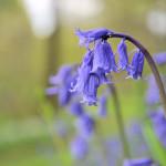 Bluebells at Antony Woodland Garden