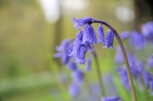 Bluebells at Antony Woodland Garden