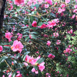 Camellias - Antony Woodland Garden