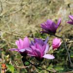 Magnolia Apollo - Antony Woodland Garden