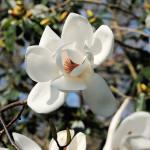 Magnolia David Culow - Antony Woodland Garden