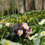 Primroses - Antony Woodland Garden