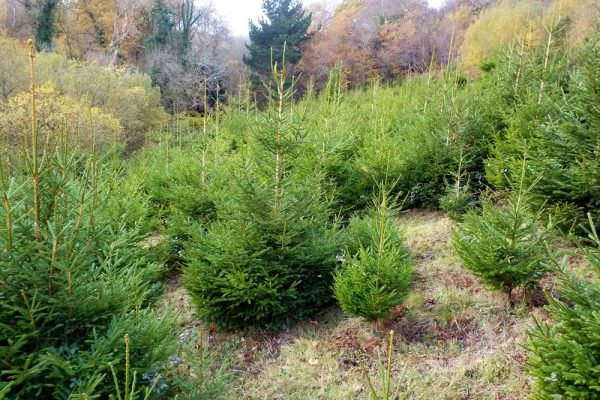 Christmas trees for sale at Antony Woodland garden
