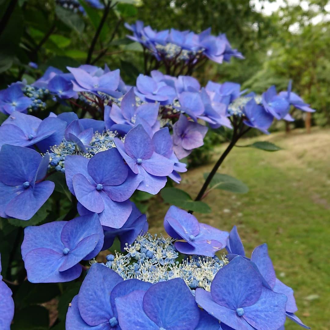 Blue Hydrangeas at Antony Woodland Garden