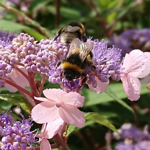 Bees collecting pollen from Hydrangea