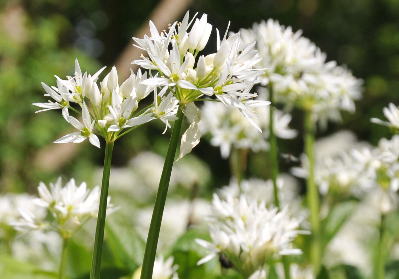 Wild Garlic in Antony Woodland Garden
